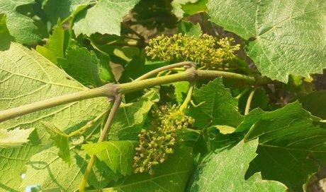 flowers beaujolais organic biodynamic