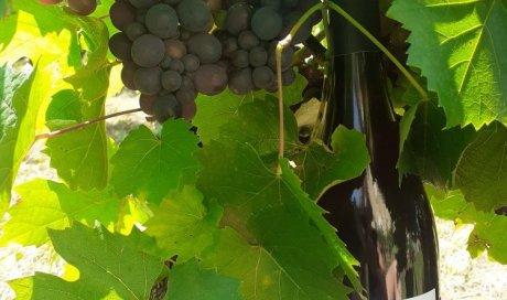 beaujolais biodynamie vin raisins